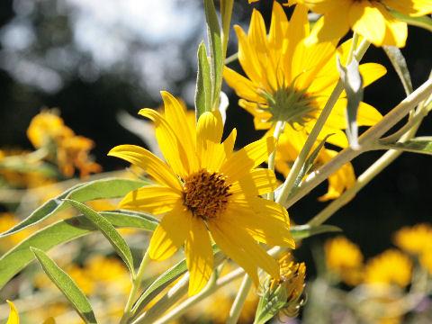 saatgut samen hohe stauden sonnenblume helianthus maximiliani pflanzen stauden kaufen. Black Bedroom Furniture Sets. Home Design Ideas