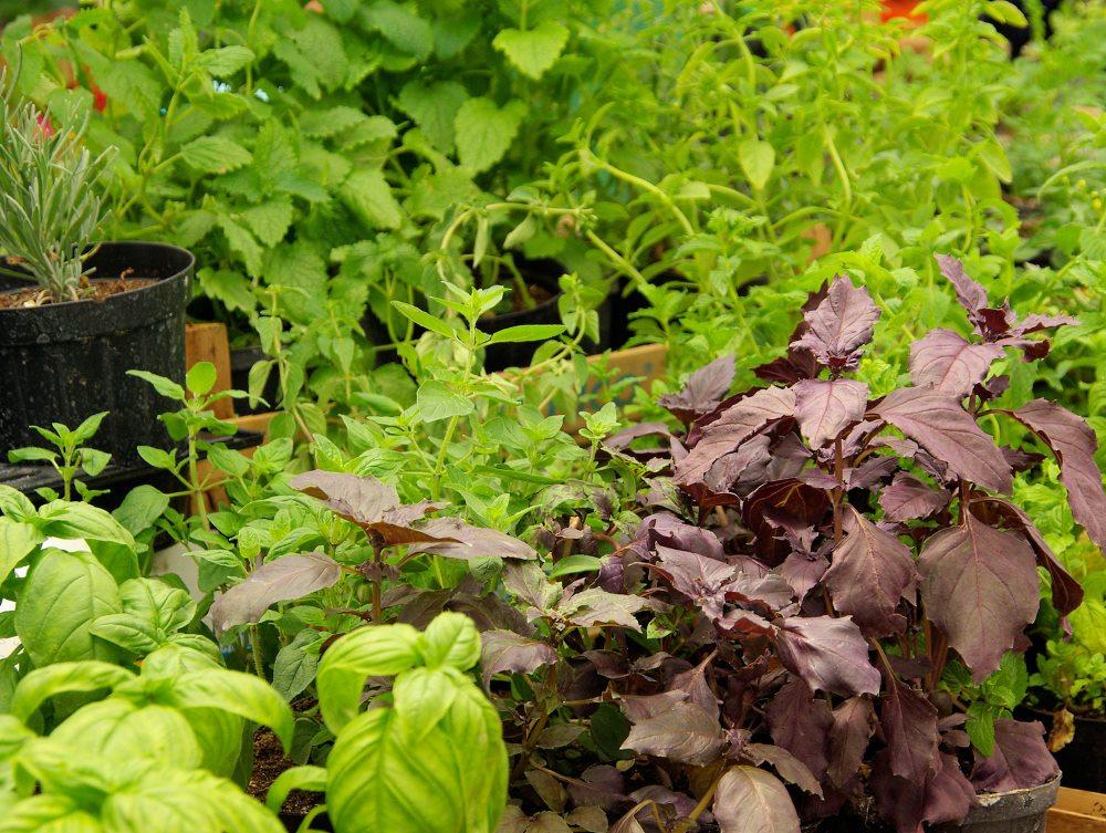 pflanzen samen kaufen chili pflanzen kaufen chili samen. Black Bedroom Furniture Sets. Home Design Ideas