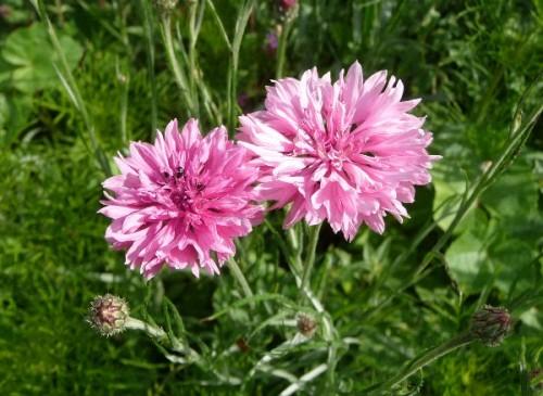 saatgut samen rosa kornblume centaurea cyanus 39 pinkie 39 pflanzen stauden kaufen. Black Bedroom Furniture Sets. Home Design Ideas
