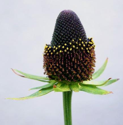 saatgut samen strahlenloser sonnenhut rudbeckia occidentalis 39 green wizard 39 pflanzen stauden. Black Bedroom Furniture Sets. Home Design Ideas
