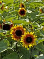 Mehrfarbige Sonnenblume