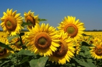 Sonnenblume (Gelbe Stammform)