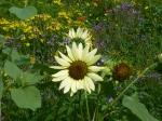 Küsten-Sonnenblume
