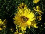 Hohe Stauden-Sonnenblume