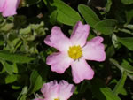 Hellrosa Cistrose (winterhart)