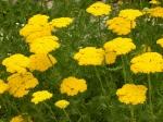 Hohe Gelbe Schafgarbe