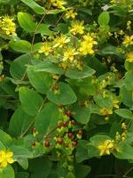 Blütenfarbe: Gelb Pflanzen-vielfalt - Der Saatgut-shop: Stauden ... Gelb Bluhende Stauden Steingarten