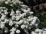 Weiße Schleifenblume