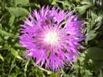 Kaukasus-Flockenblume