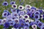 Kornblumenmischung in Blautönen
