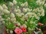 Hasenschwanz-Gras
