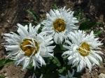 Gefüllte Garten-Margerite
