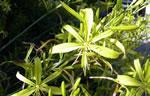 Liburnische Junkerlilie