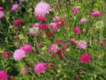Mazedonische Witwenblume (pastellfarbene Mischung)