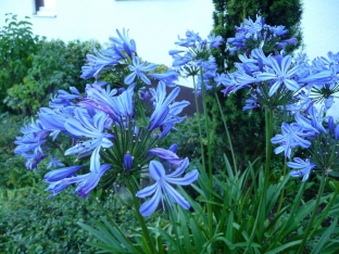 Agapanthus praecox 'Blue Umbrella'