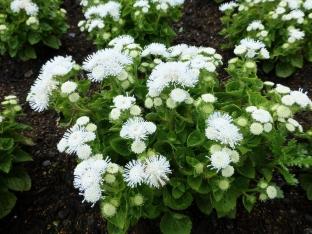 Ageratum houstonianum 'White Ball'