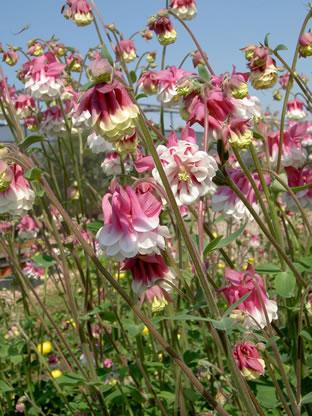 Aquilegia vulgaris plena 'Pink Petticoat'