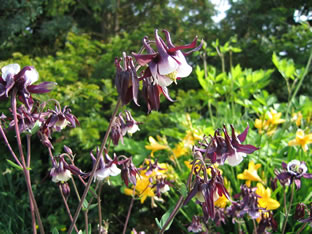 Aquilegia vulgaris 'William Mc Guiness'