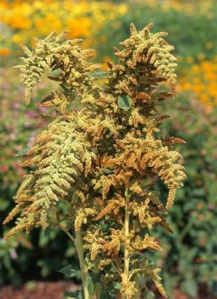Amaranthus cruentus 'Autumns Touch'