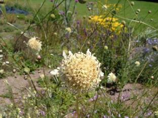 Cephalaria dipsacoides