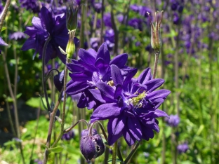 Aquilegia vulgaris plena 'Blue Barlow'
