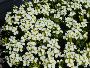 Arabis caucasica 'Yellow Shine'