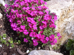 Aubrieta 'Royal Red'