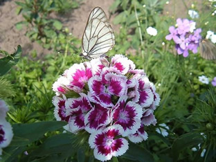Dianthus barbatus (Mischung)
