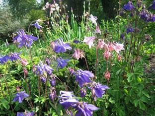 Aquilegia vulgaris 'Bauerngarten'