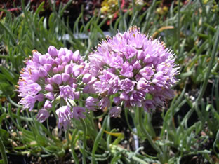 Allium senescens ssp. montanum
