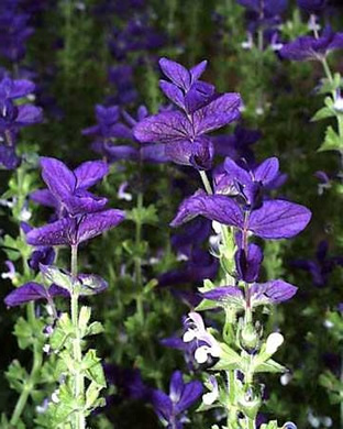 Salvia horminum 'Blue Monday'
