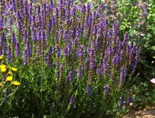 Salvia nemorosa 'Westfriesland'