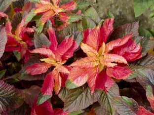 Amaranthus tricolor 'Ilumination'
