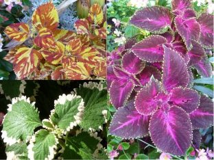 Coleus blumei 'Rainbow Mix'