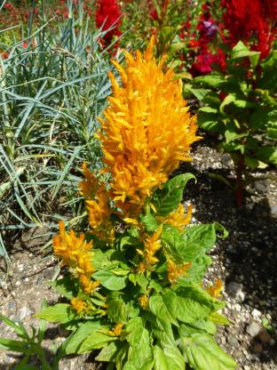 Celosia plumosa 'Gelbe Feder'