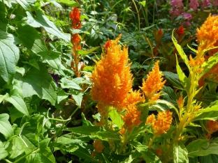 Celosia plumosa 'Lilliput Mischung'
