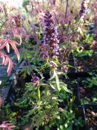 Schizonepeta tenuifolia