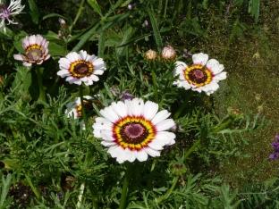 Chrysanthemum carinatum 'Cockade'