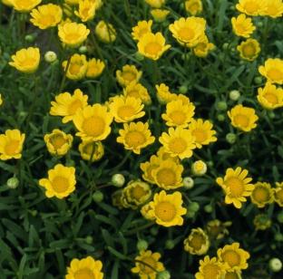 Chrysanthemum multicaule 'Sunlight'