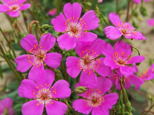 Cisanthe grandiflora 'Brightness'
