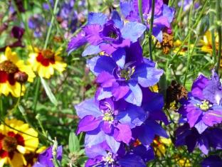 Consolida ajacis 'Fancy Blue Purple'
