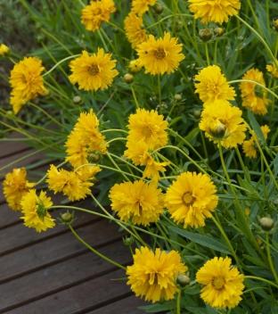 Coreopsis grandiflora 'Sundrops'