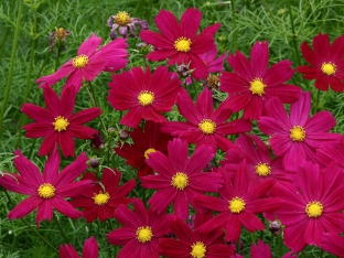 Cosmos bipinnatus 'Cosimo Purple Red'