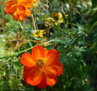Cosmos sulphureus 'Crest Orange'