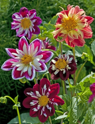Dahlia variabilis 'Dandy Improved Mix'