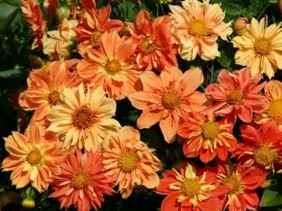 Dahlia variabilis 'Sunny Reggae'