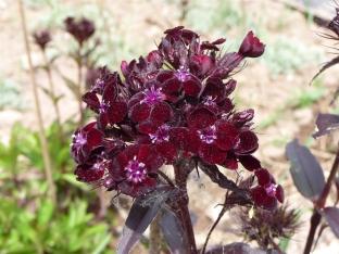 Dianthus barbatus nigrescens 'Sooty'