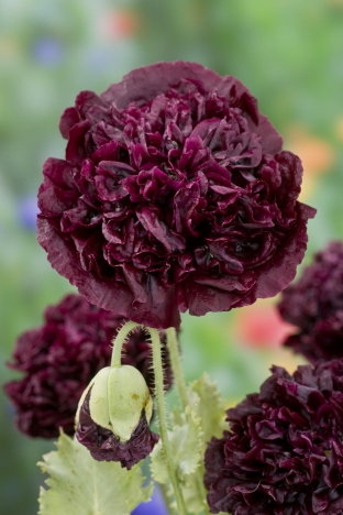 Papaver somniferum var. paeoniflorum 'Black Peony'