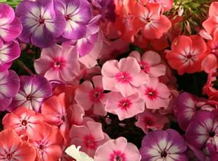 Phlox drummondii 'Grandiflora Mischung'