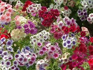 Phlox drummondii 'Grandiflora Tapestry Mixture'